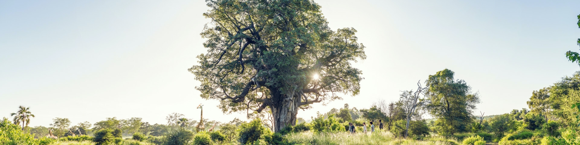 00 Banner Group on a guided walk through the bush with baobabs and giraffes