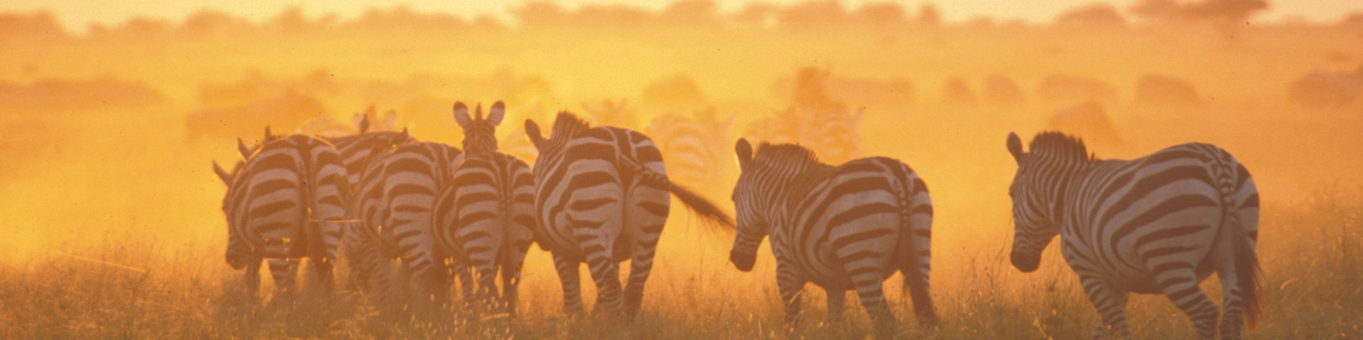 Tours and Safaris to Tanzania Zebras at Dawn in West Kilimanjaro