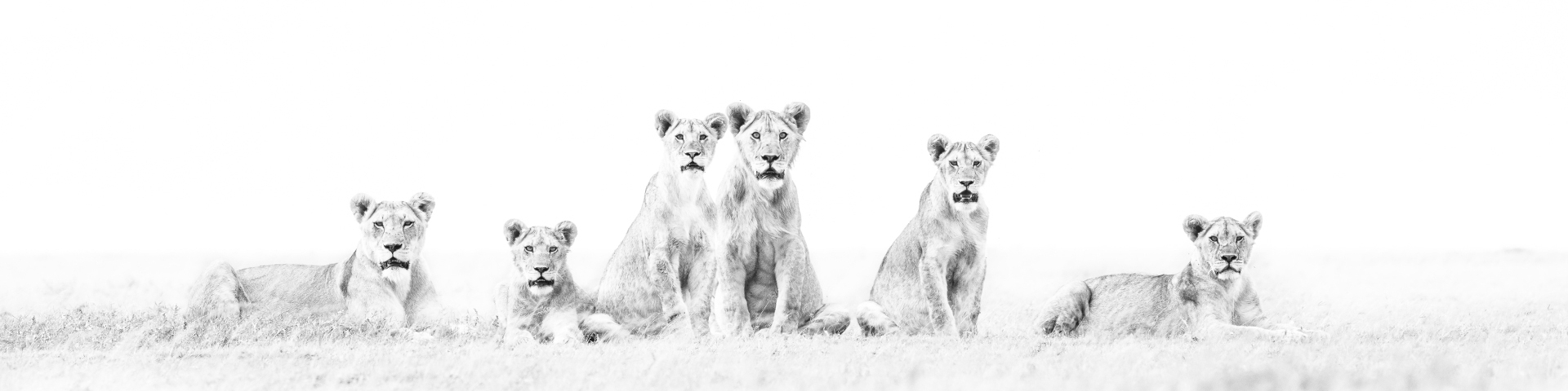 Fine Art High Key Lions by Wim vd Heever
