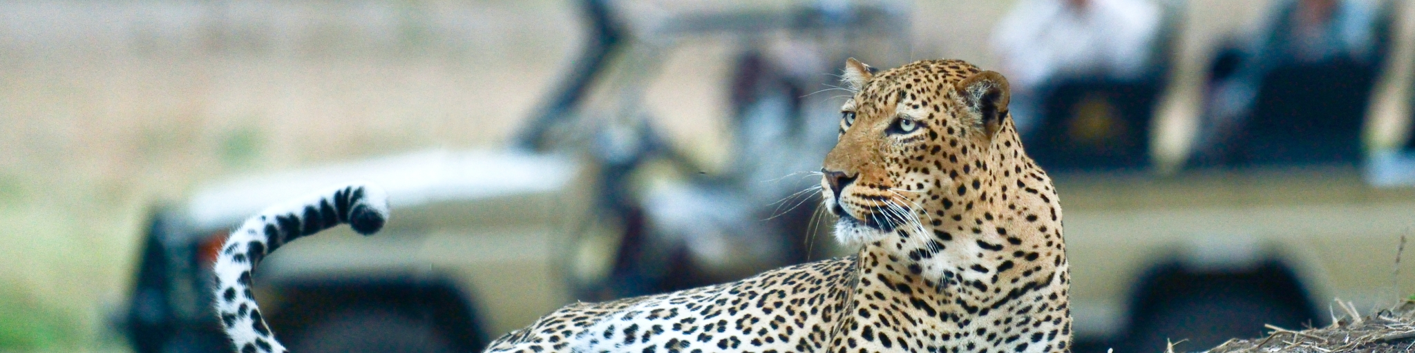 Leopard On Game Drive, Old Mondoro- bannner