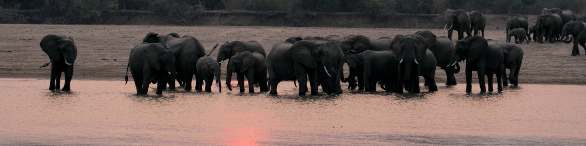 Banner elephants gather to drink south luangwa national park